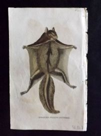 Brightly (Pub) 1811 Antique Hand Col Print. Hooded Flying Squirrel